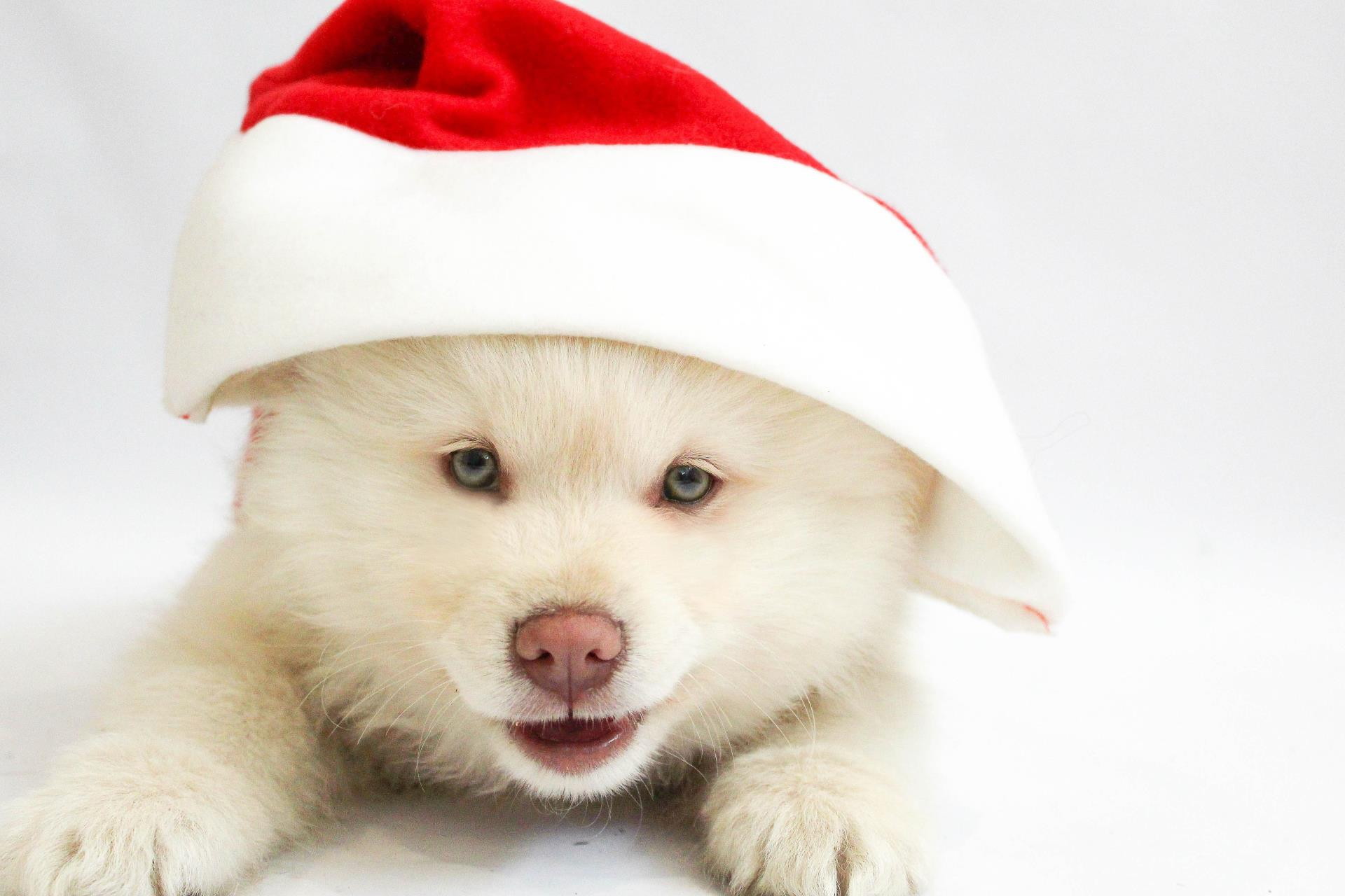Dog Wearing Christmas Hat